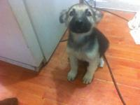 I have 1 male German shepherd puppy left Aca reg