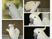 Male goffins cockatoo with EVERYTHING for sale. Cage