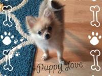Tiny male Pom dob 12-3-2014 he is very healthy and