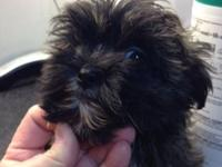 WE HAVE 1 BEAUTIFUL MAL-SHIH AVAILABLE FOR ADOPTION SHE