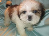 One Designer Puppy (Mal-Shi) available Cross between