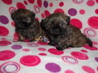 I have two beautiful little male Mal-Shi pups available