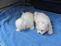 Beautiful Maltese X Shih Tzu puppies. Dad is the
