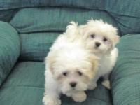 Sweet and beautiful Mal-Shi puppies for sale. Dad is