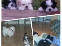 First generation Mal Shi young puppies ... real-time
