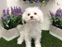 Breed: MalShi (Maltese & Shihtzu Mix) Nickname: Dolly