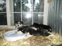 Cutest Puppies ever! 3 males & 3 females......Husky &