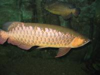 we have the following type of arowana fishes
