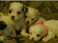 Malchi puppies! ONLY 2 LEFT! DOB 9/20/13 They are both