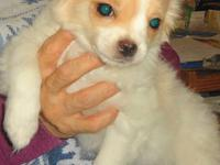 One Girl One Boy Maltese Mix Pups left.. Home Raised