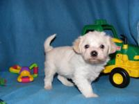 8 week old male hypoallergenic, non shedding sweetheart