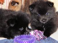 6 1/2 week old male black pomeranian puppies $475.00