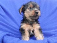 We're selling a male Yorkie young puppy. His birthdate