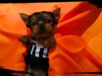 Meet Luke!!!! Type of dog - Yorkshire Terrier Date of