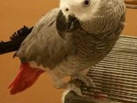 Beautiful 3 year old male African Grey. Needs a loving