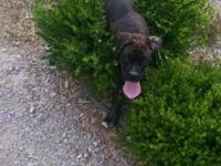 I have 2 male, full blooded & AKC registered Boxer pups