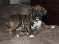 2 Male AKC Boxer puppies. 8 weeks old. $750.00. Tails