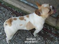 Guillam is a 41/2 year aged AKC shown in one piece guy.