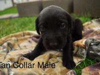 Yellow and Black lab puppies! 3 black Males and 4