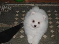We have a male AKC registered Pom puppy for sale. He is
