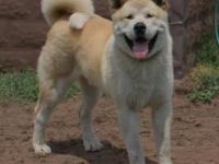 11 month old Male ]Akita. 100% American bloodlines even