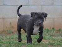 16 week old male american bully available he is 750