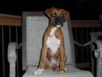 We have one male and one female AKC registered Boxer