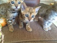 Animal Type: Cats Breed: Bengal male and female bengal