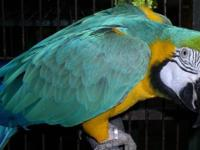 I have a man Bolivian blue macaw that is 4 years old