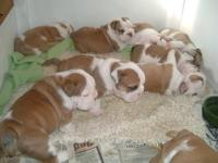 Cute and adorable English bulldog puppies for