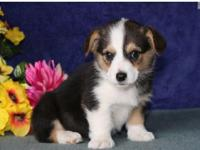 male and female Corgi pups Available now.these pups are
