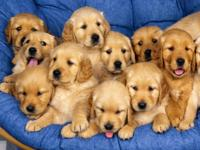 Animal Type: Dogs Male And Female Cute Golden Retriever