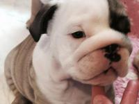 Animal Type: Dogs Breed: Bulldog We have a male and