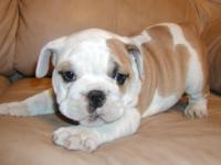 KC ENGLISH BULLDOG PUPPY  1 MALE AND 1 FEMALE
