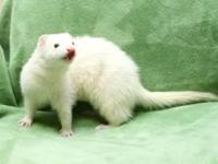 i have a male and female ferrets that am looking for a