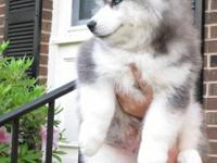 Male and female Husky 12 weeks old, blue eyes, good