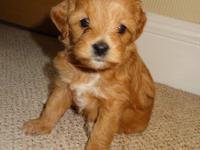 Adorable Malti Poo Puppies! There are male and female