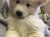 Beautiful pomsky puppies ready...Awesome chunky pups