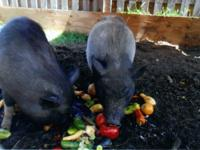 "2 very spoiled ""fixed"" male and female pot belly pigs."