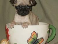 Male and Female pugs puppies  pets for sale now Hello