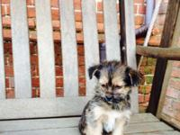 Male and female pure bred Yorkshire Terrier with an