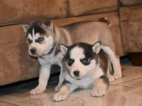 Male and Female Siberian Husky as a gift for you this