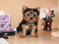 Our family have got wonderful teacup sized Yorkie