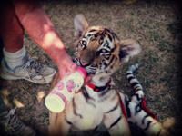 Male and Female Tiger/Cheetahs Cubs and other exotics