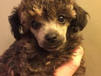 Toy poodle puppies male and female. Male weighs 1 pound
