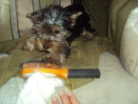 Female and male Yorkie prepared for their new homes. 9