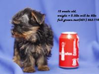 Beautiful Yorkie Puppies, raised in our home with our