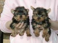 Animal Type: Dogs Breed: Yorkshire Terrier Maltese