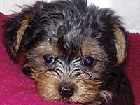 Sweet yorkie puppies for adoption , they have been home