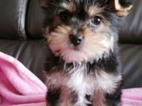 male and female yorkie puppies for new homes, they are